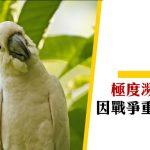 【香港雀鳥】小葵花鳳頭鸚鵡 因戰爭重獲新生?