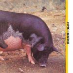 【港豬】嘉道理農業輔助會如何育成 真.本地豬?